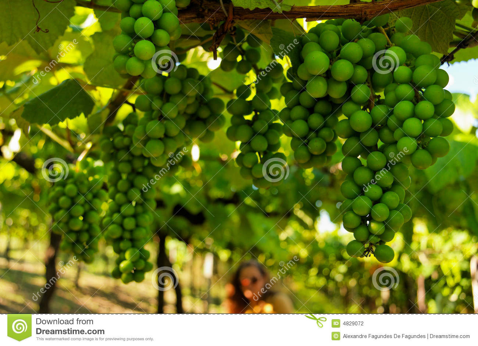 πράσινο κρασί σταφυλιών