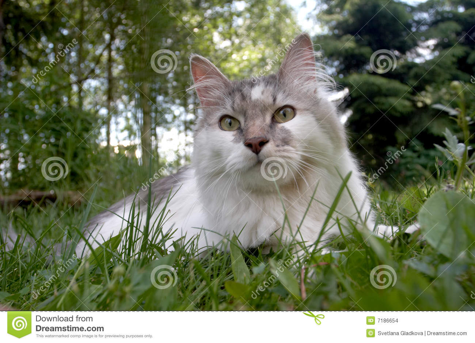 πράσινο λευκό ματιών γατών