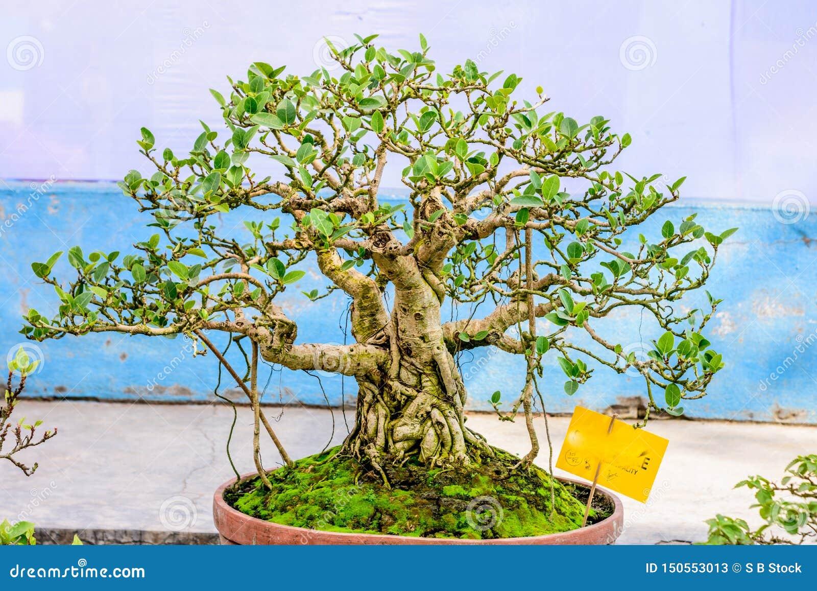 Πράσινο μπονσάι δέντρων Banyan για την επίδειξη σε ένα δοχείο λουλουδιών Ένα τροπικό γένος των αειθαλών αποβαλλόμενων ειδών σύκων
