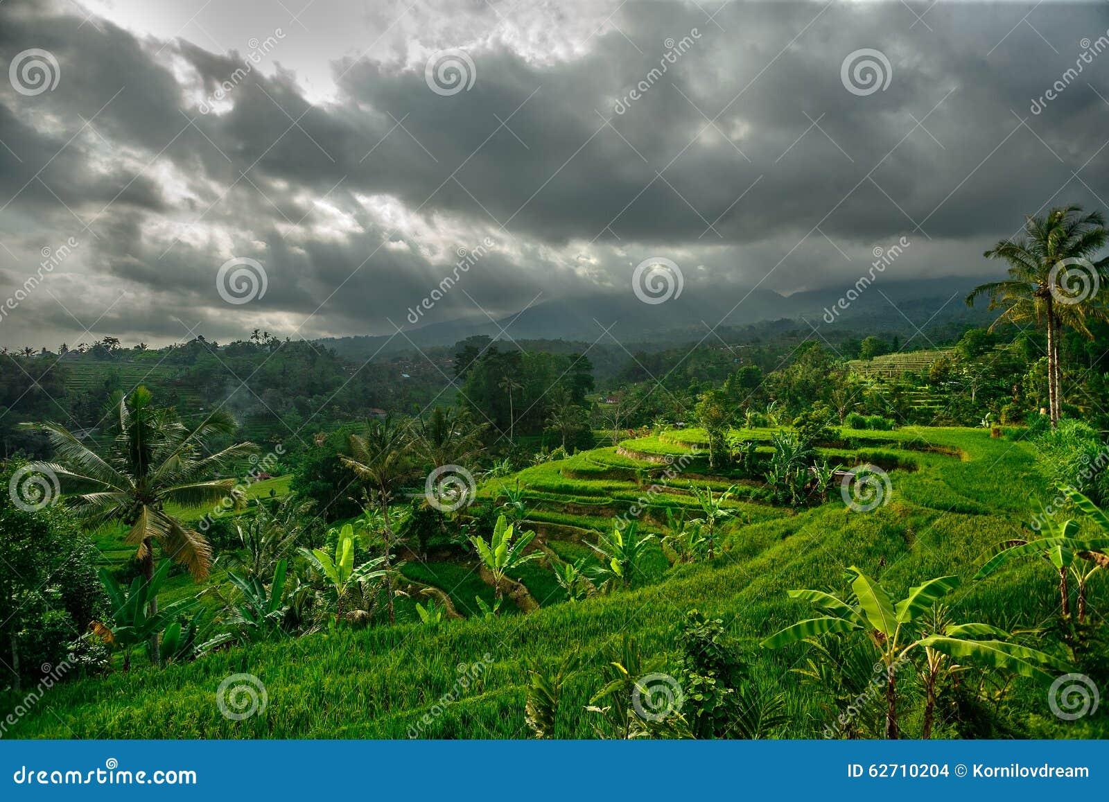 πράσινο ρύζι πεδίων