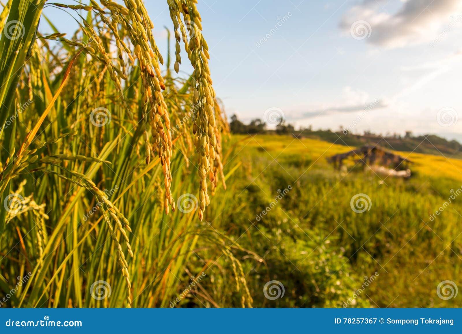 πράσινο ρύζι πεδίων terraced