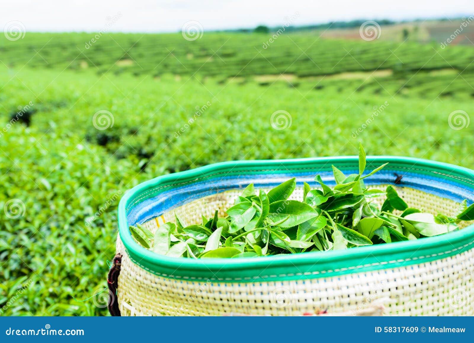 Πράσινο τοπίο φυτειών τσαγιού, πράσινο τσάι στο καλάθι