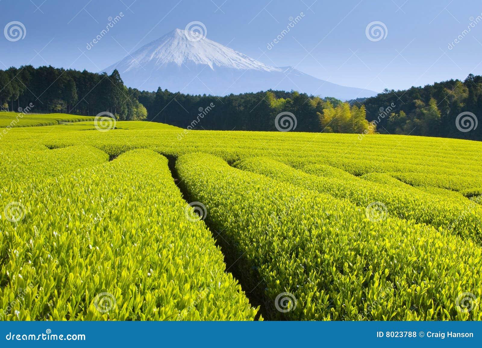 πράσινο τσάι πεδίων