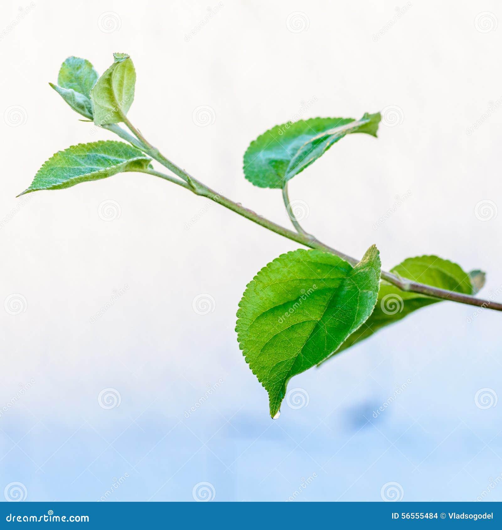 Download Πράσινο φρέσκο φύλλο από τον κλάδο ενός δέντρου Κλείστε επάνω τη λεπτομέρεια ενός φύλλου Στοκ Εικόνες - εικόνα από ανασκόπησης, φοίνικας: 56555484