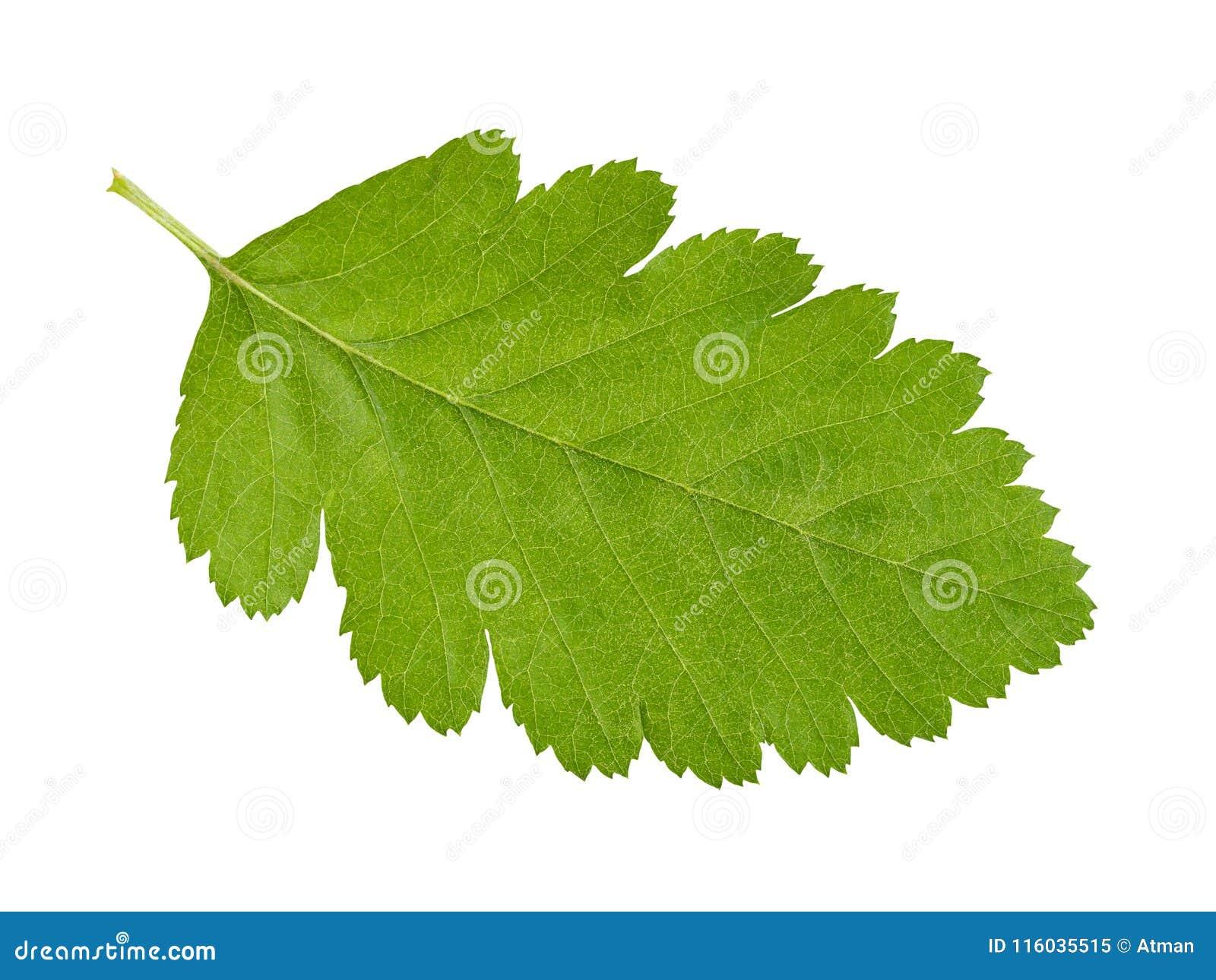 Πράσινο φύλλο στο λευκό