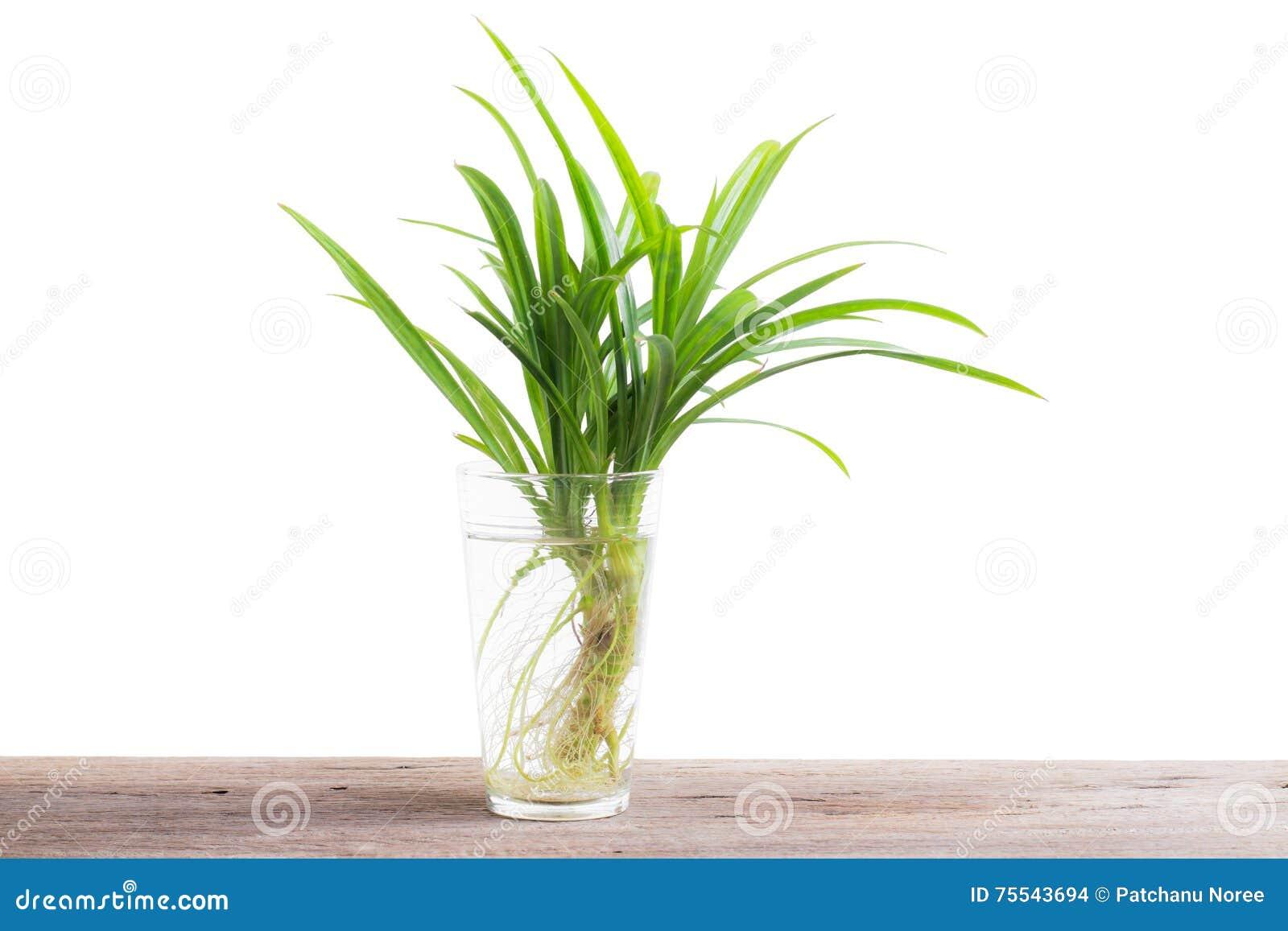 Πράσινο φύλλο του pandan χορταριού στο ποτήρι του νερού σε ξύλινο
