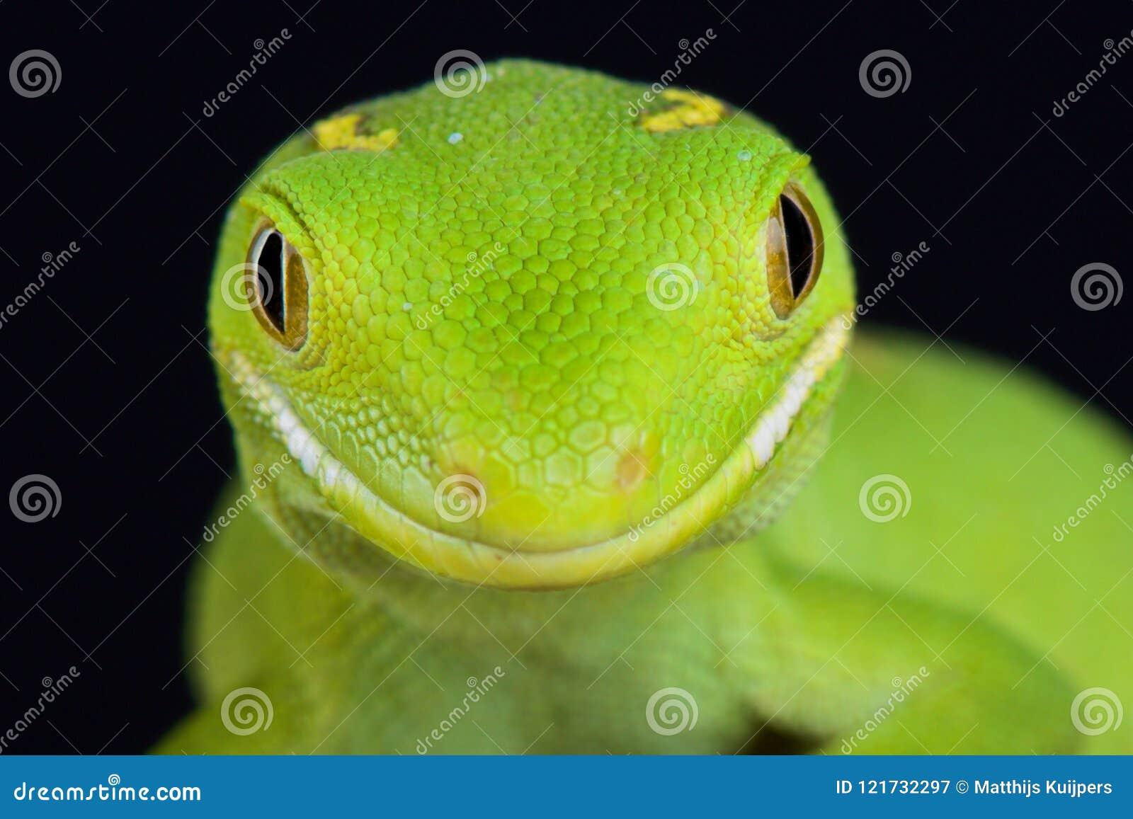 Πράσινο gecko Naultinus του Ώκλαντ elegans
