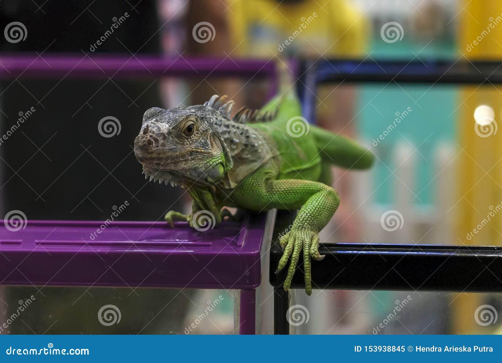 Πράσινο iguana σε ένα υπόβαθρο θαμπάδων