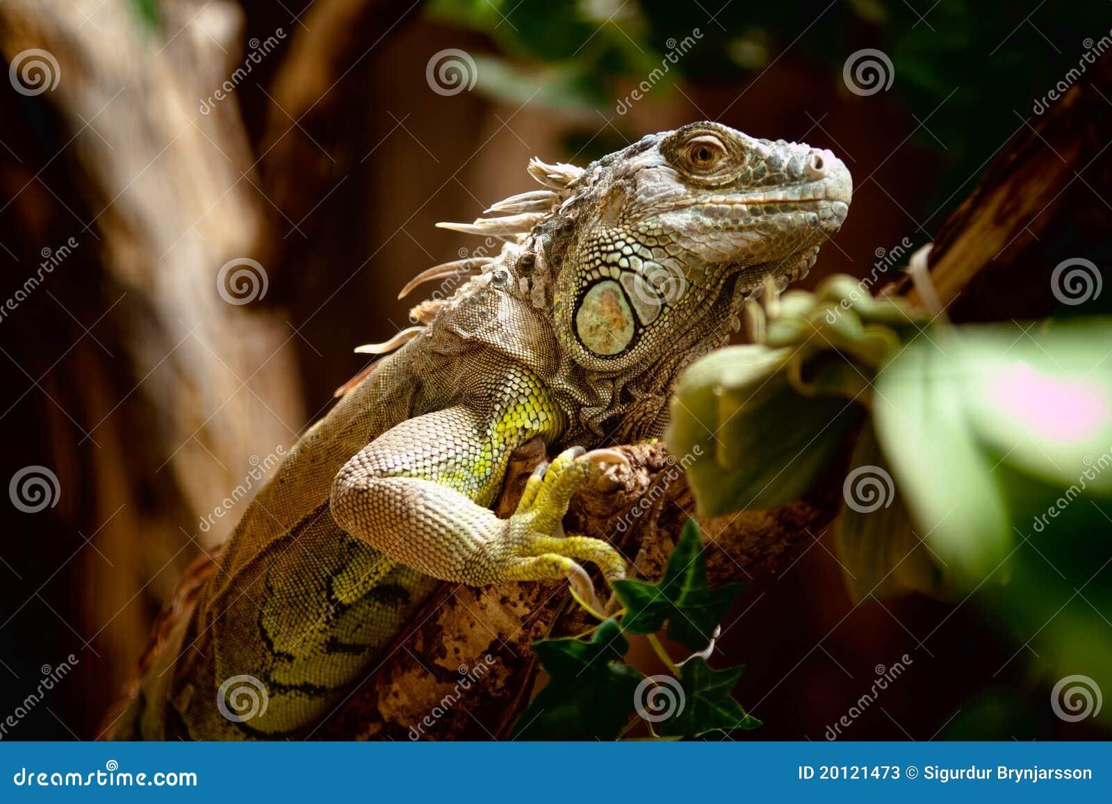 πράσινο iguana