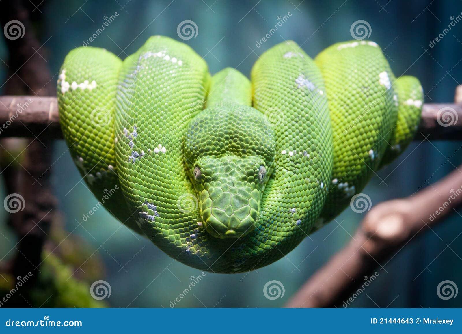 πράσινο python