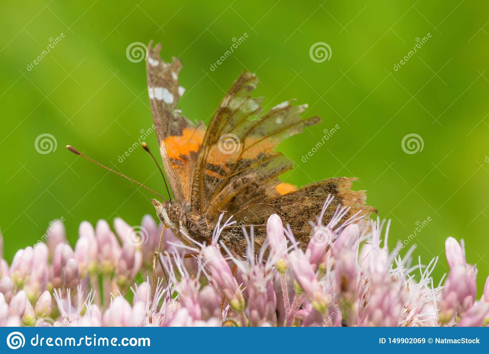 Πραγματικά ξεπερασμένη πεταλούδα με τα μεγάλα μέρη των φτερών που λείπουν - που ταΐζουν το πορφυρό/ρόδινο Joe-pye-ζιζάνιο wildflo