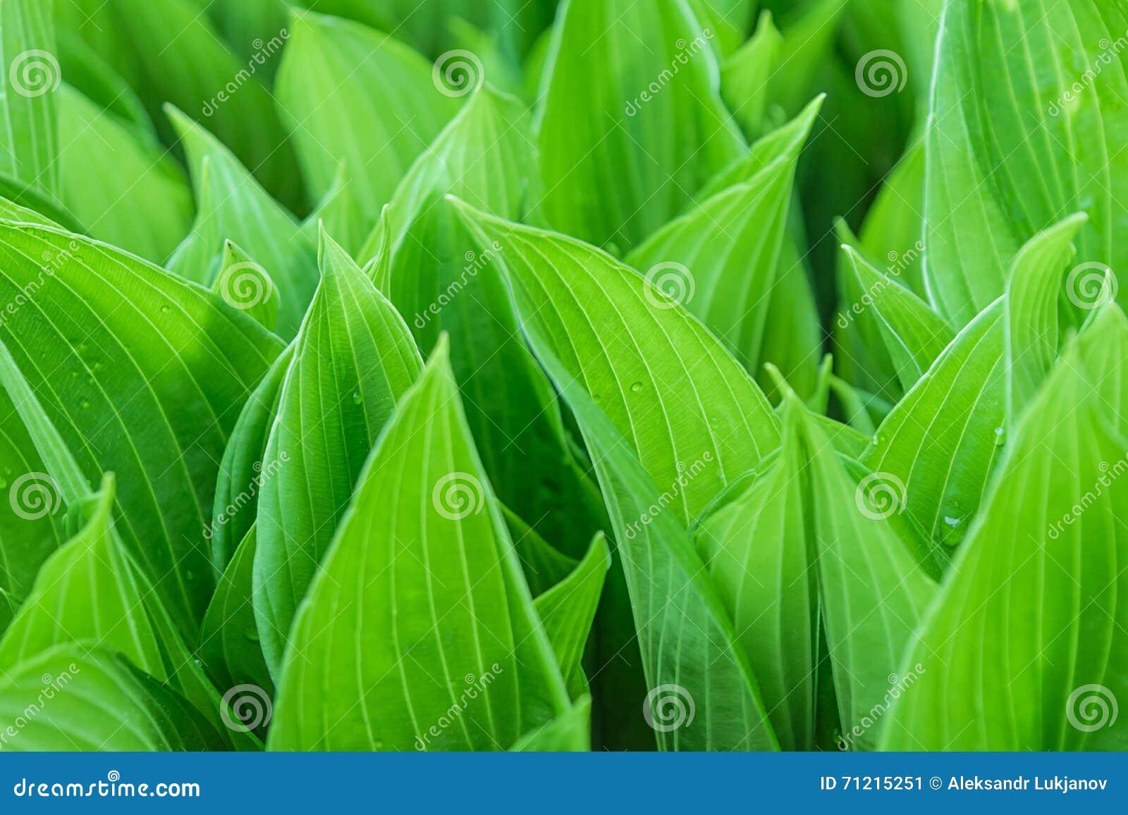 Πρασινάδα των θερινών φύλλων