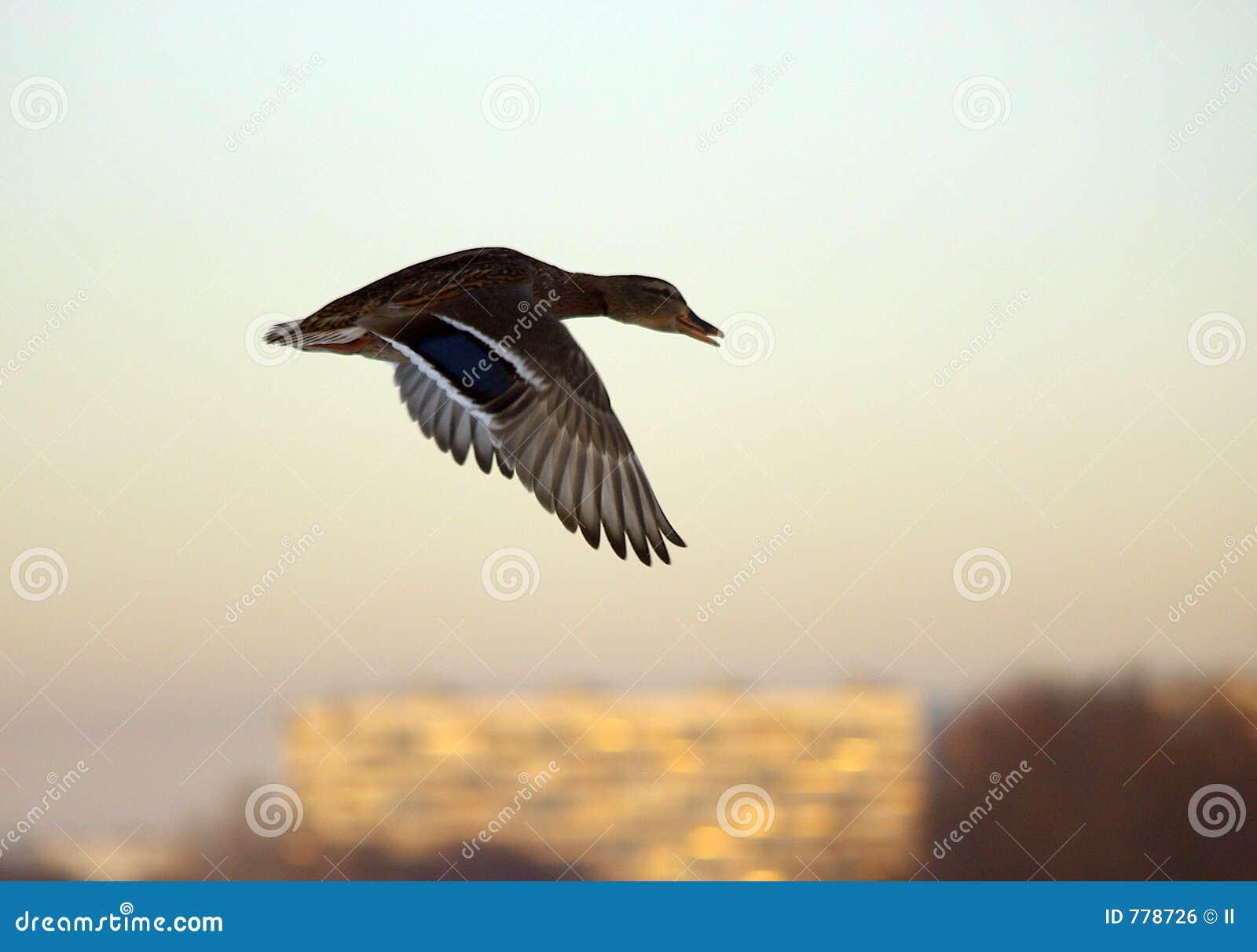 πρασινολαίμης πτήσης