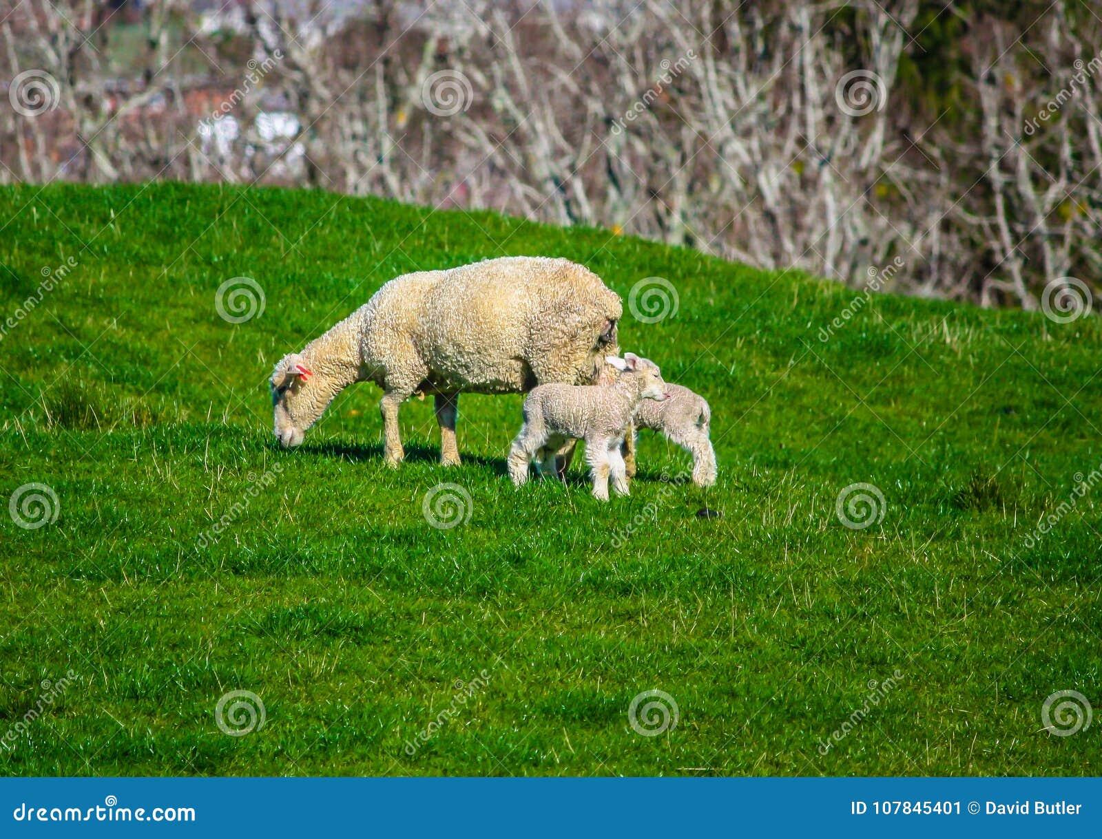 Προβατίνα και αρνί σε ένα λιβάδι, Ώκλαντ, Νέα Ζηλανδία