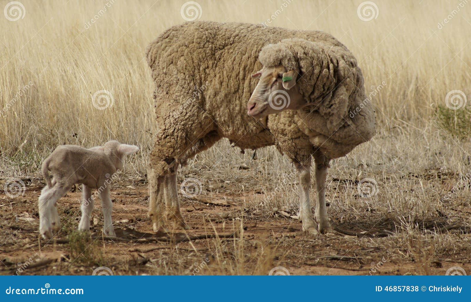 Προβατίνα και αρνί στην ξηρασία