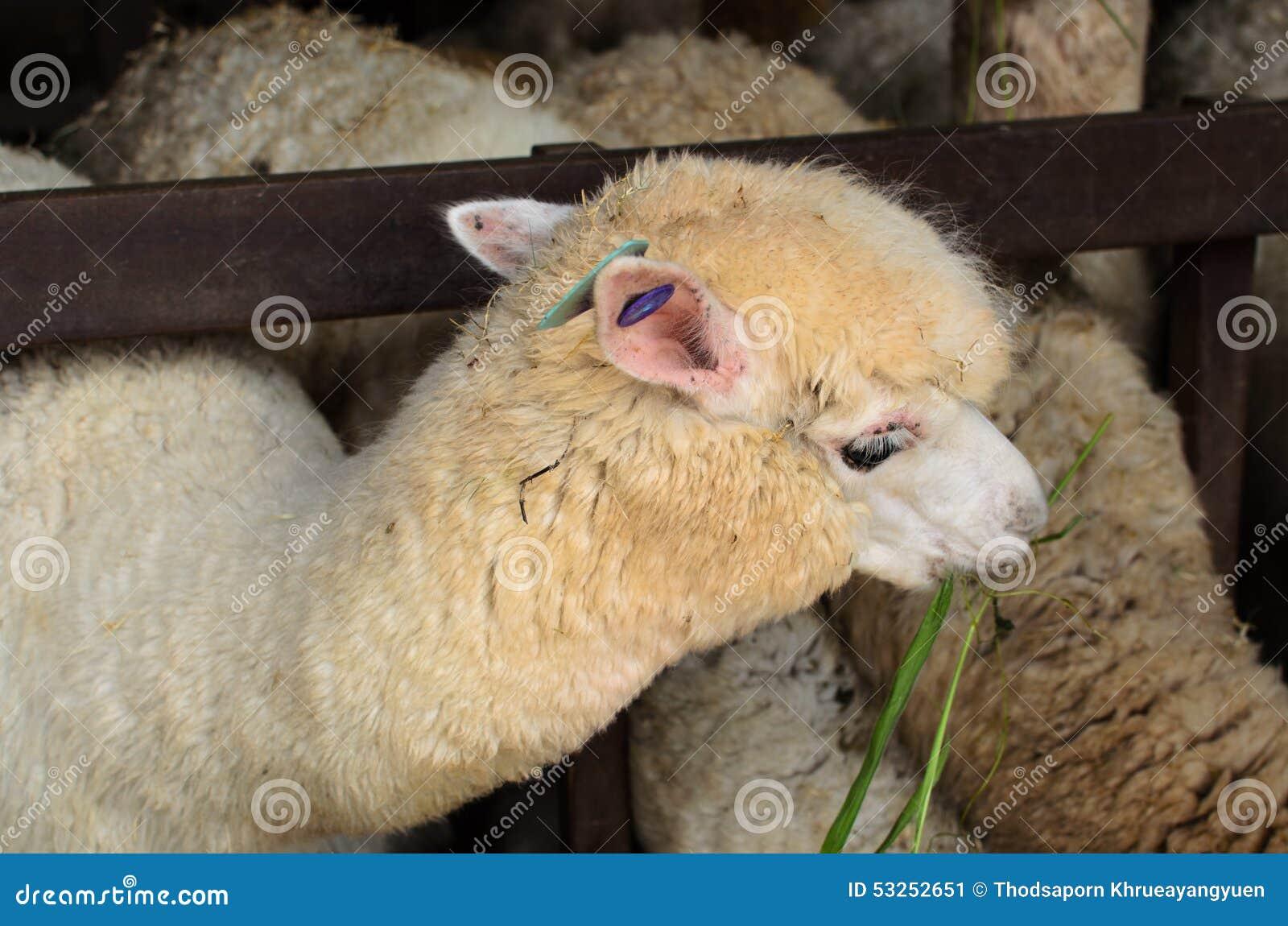 Προβατοκάμηλος