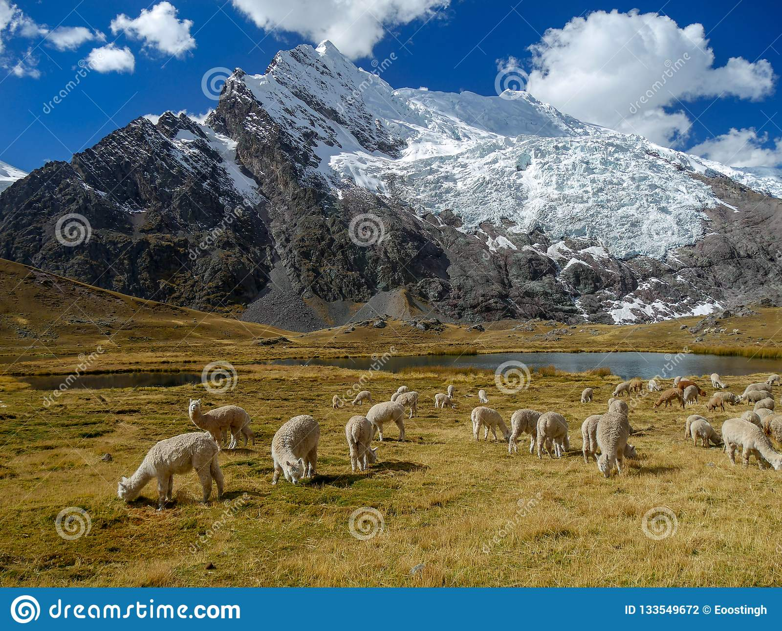 Προβατοκαμήλου στις περουβιανές Άνδεις