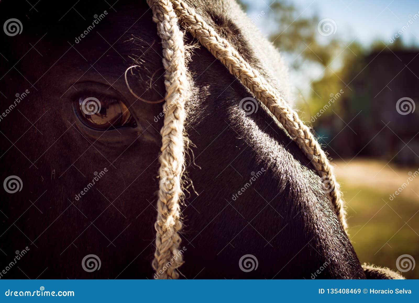Προσέγγιση του κεφαλιού ενός μαύρου αλόγου που δένεται με τα σχοινιά