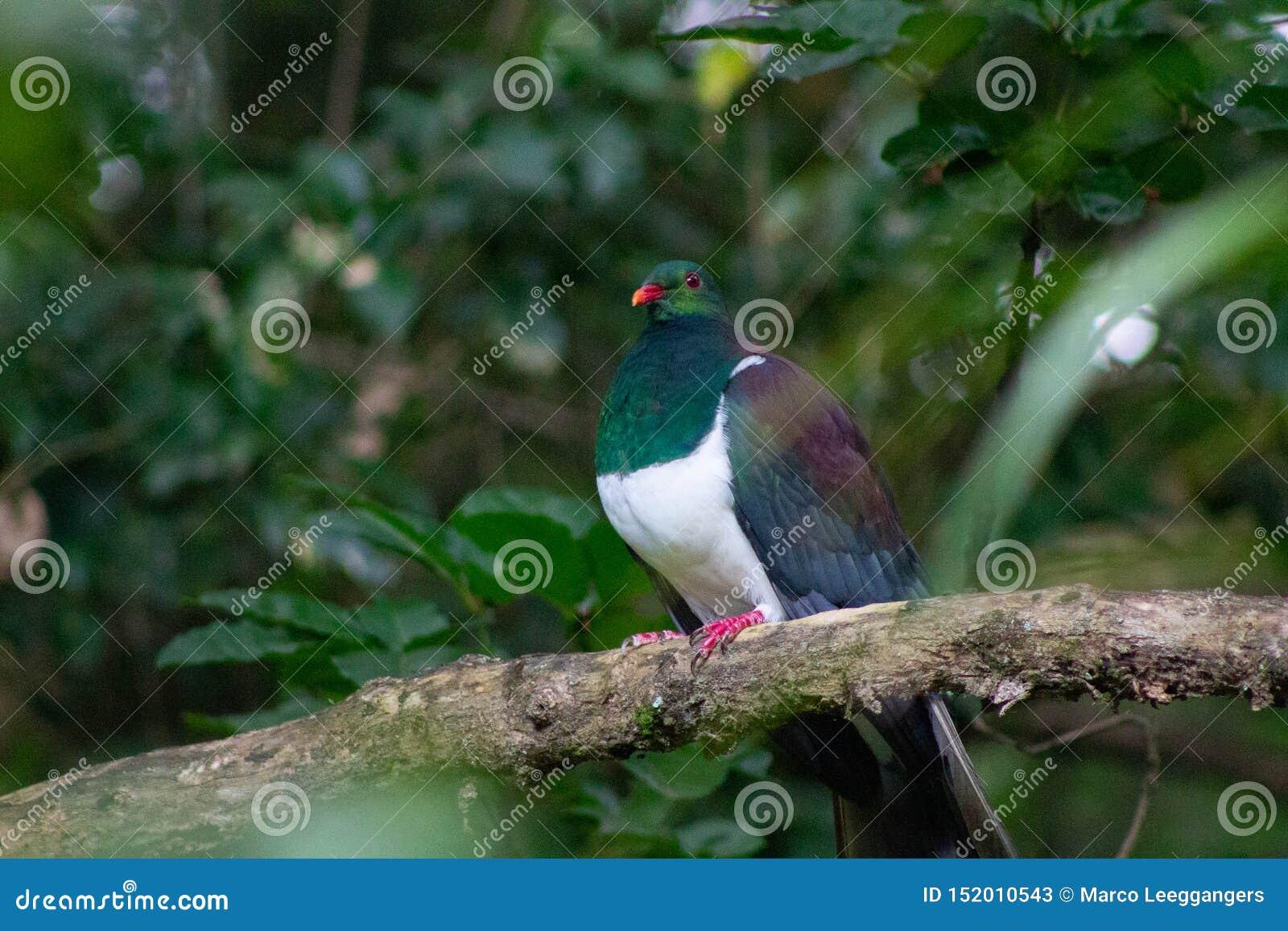 προστατευμένο πουλί του περιστεριού της Νέας Ζηλανδίας Kereru