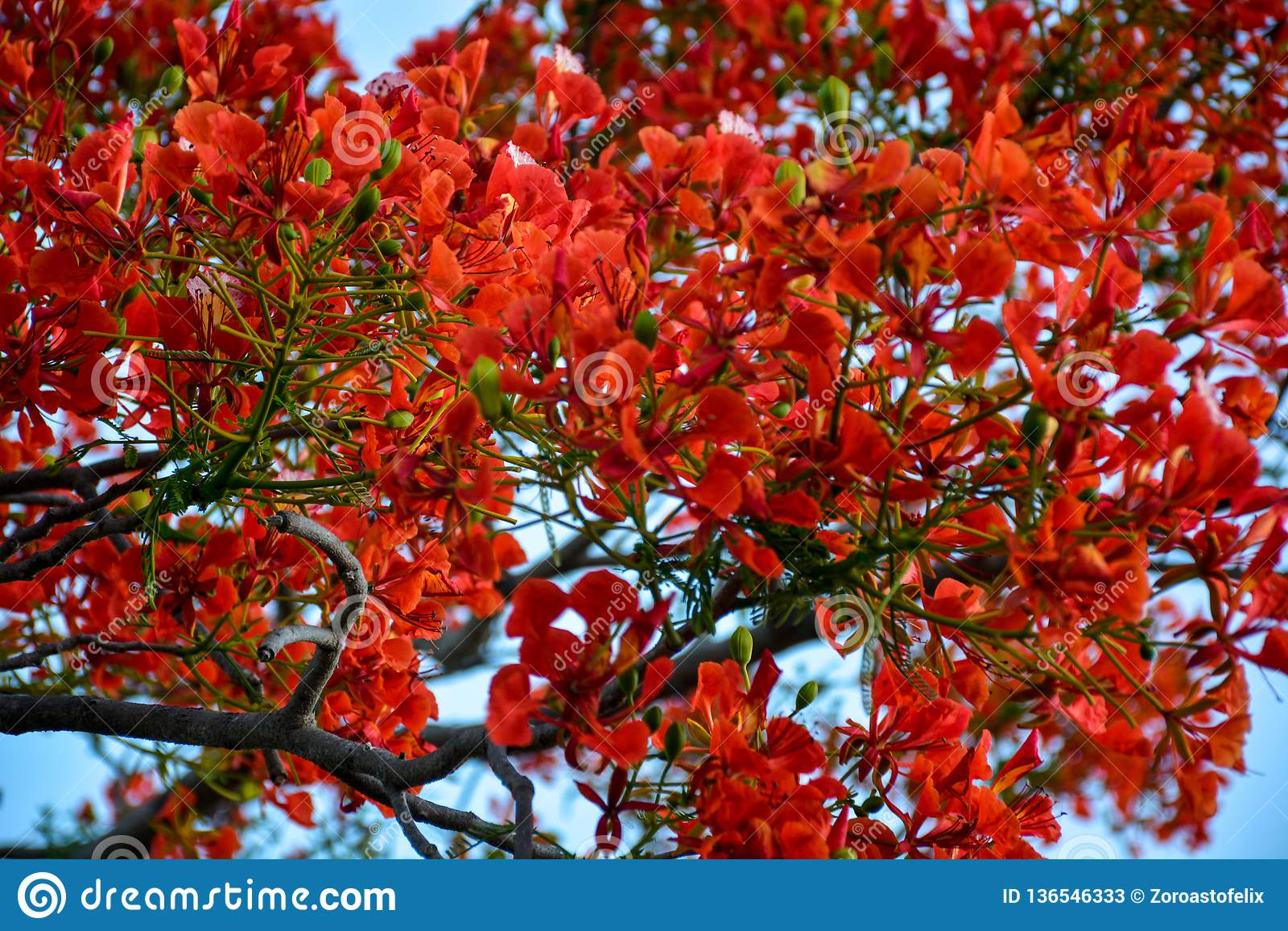 Προστατευόμενο δέντρο Delonix με τα κόκκινα ανθίζοντας λουλούδια