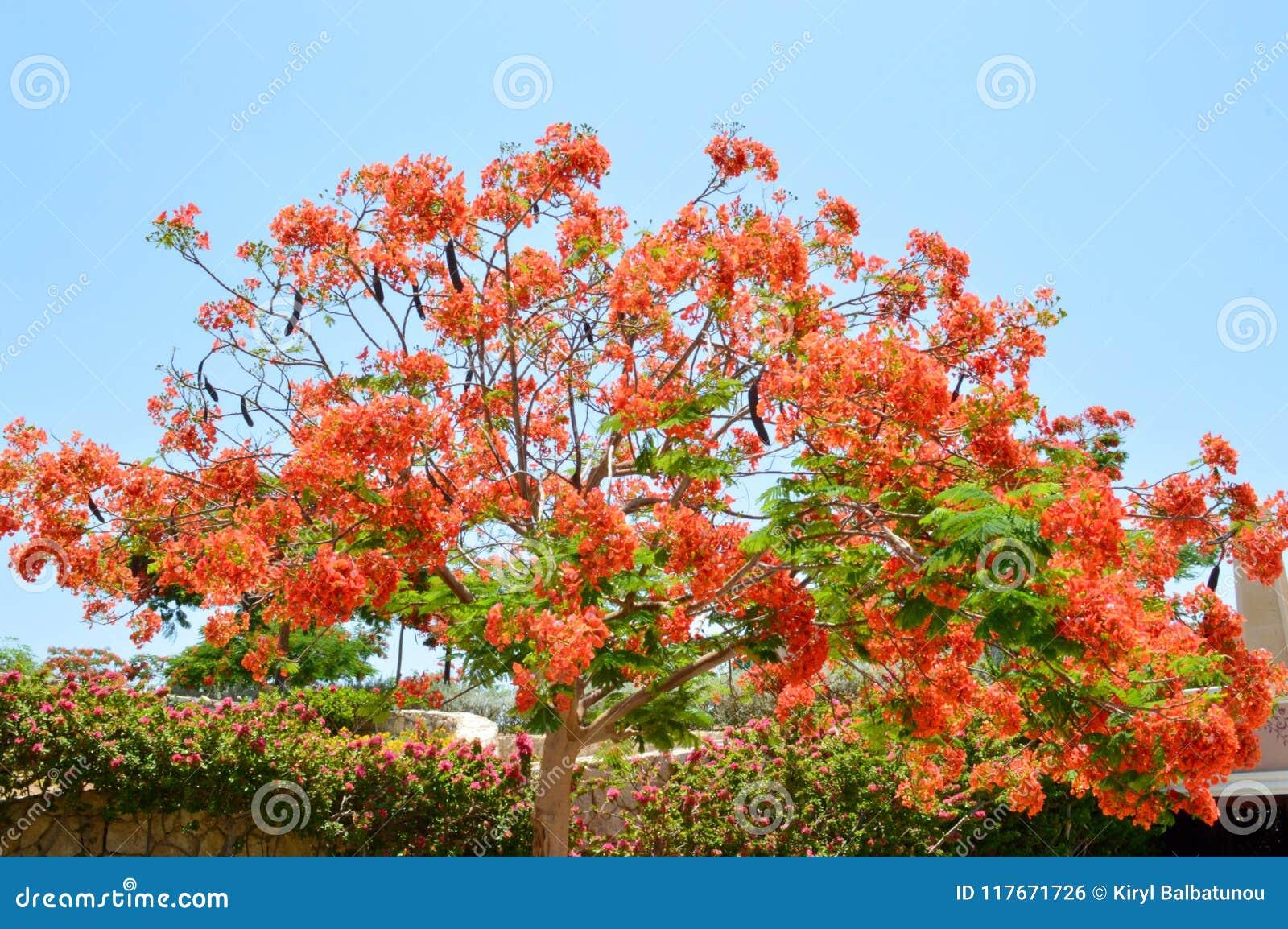 Προστατευόμενο δέντρο Delonix με τους κλάδους με τα κόκκινα ανθίζοντας λουλούδια, με τα πράσινα φύλλα σε ένα τροπικό θέρετρο ενάν