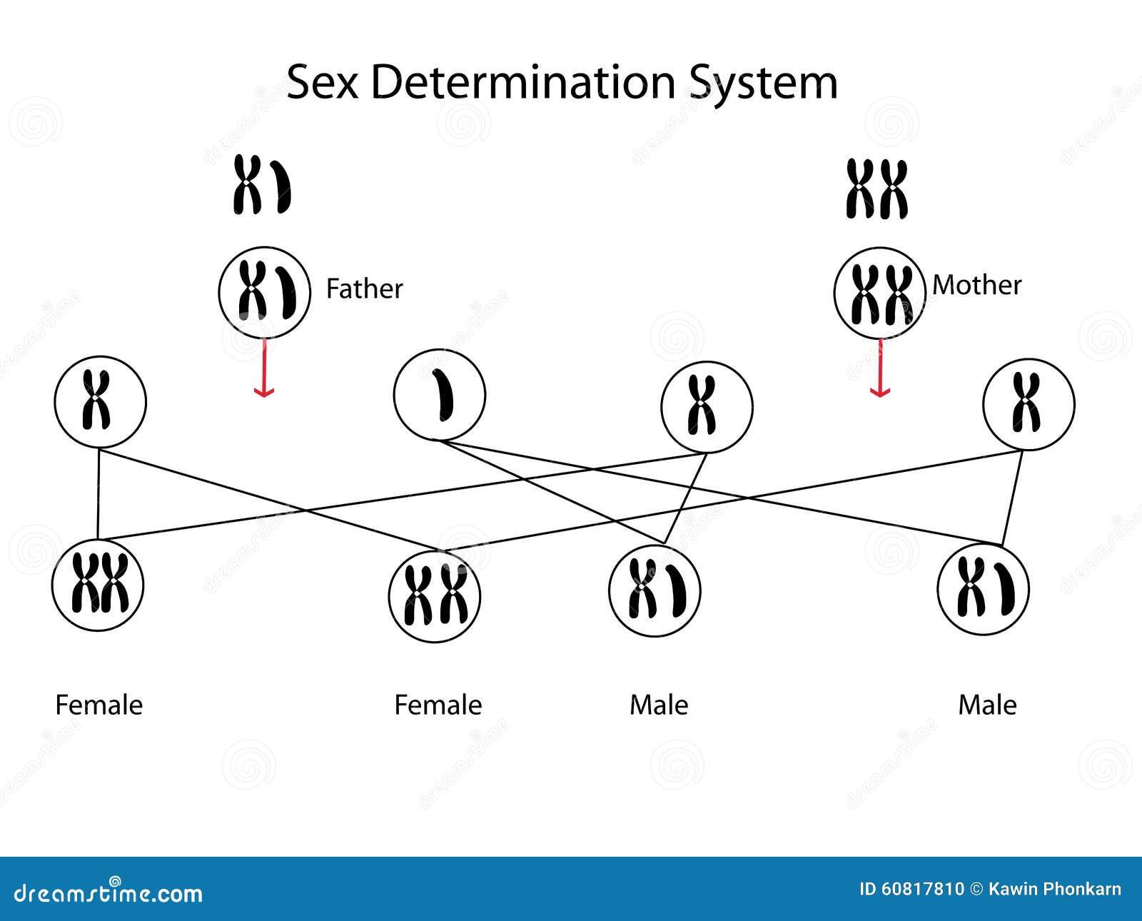 Προσδιορισμός φύλων