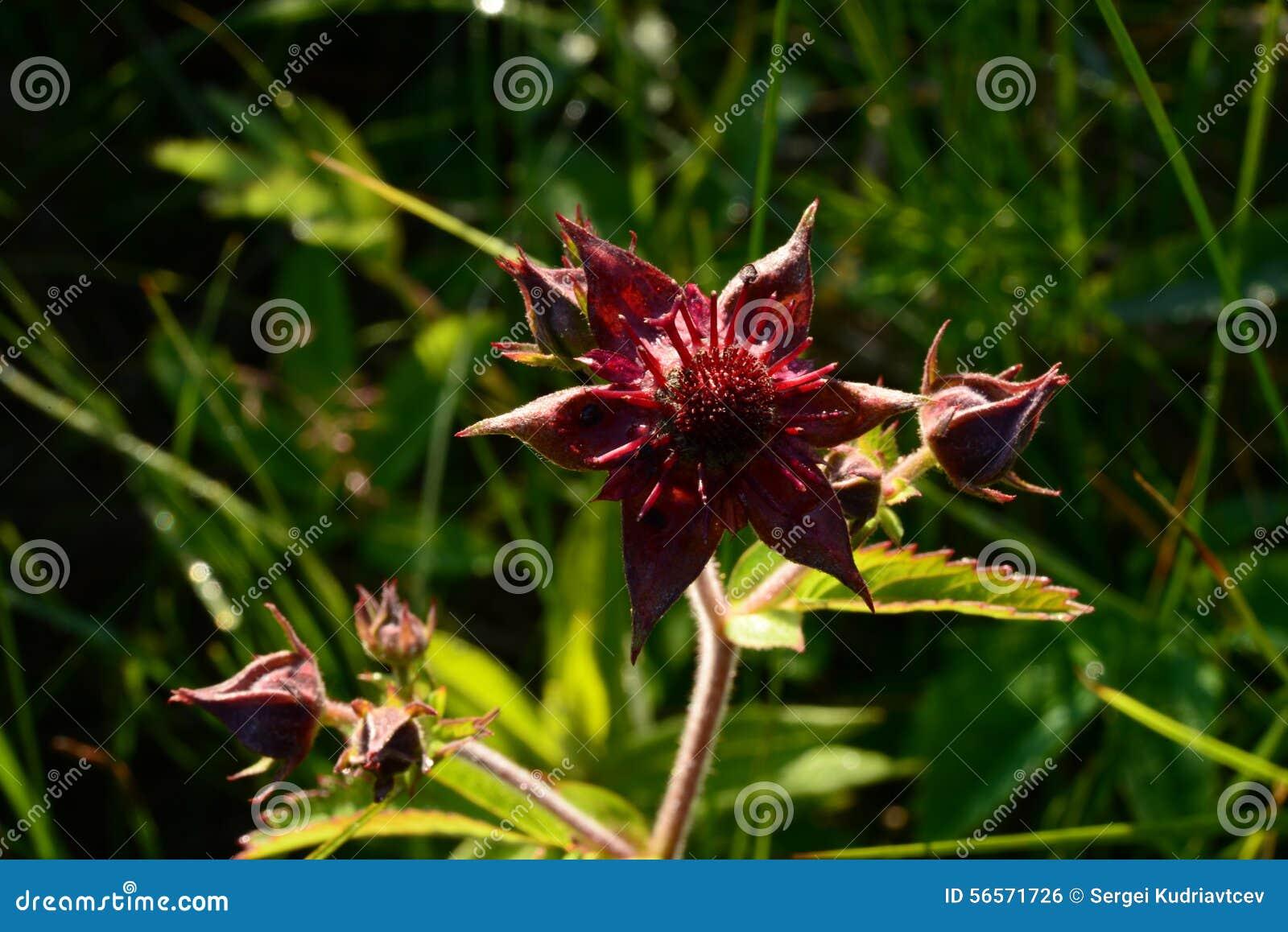 Download Πρωί αρχών του καλοκαιριού έλους λουλουδιών Cinquefoil στη χλόη θάμνων Στοκ Εικόνες - εικόνα από λουλούδι, φυτό: 56571726