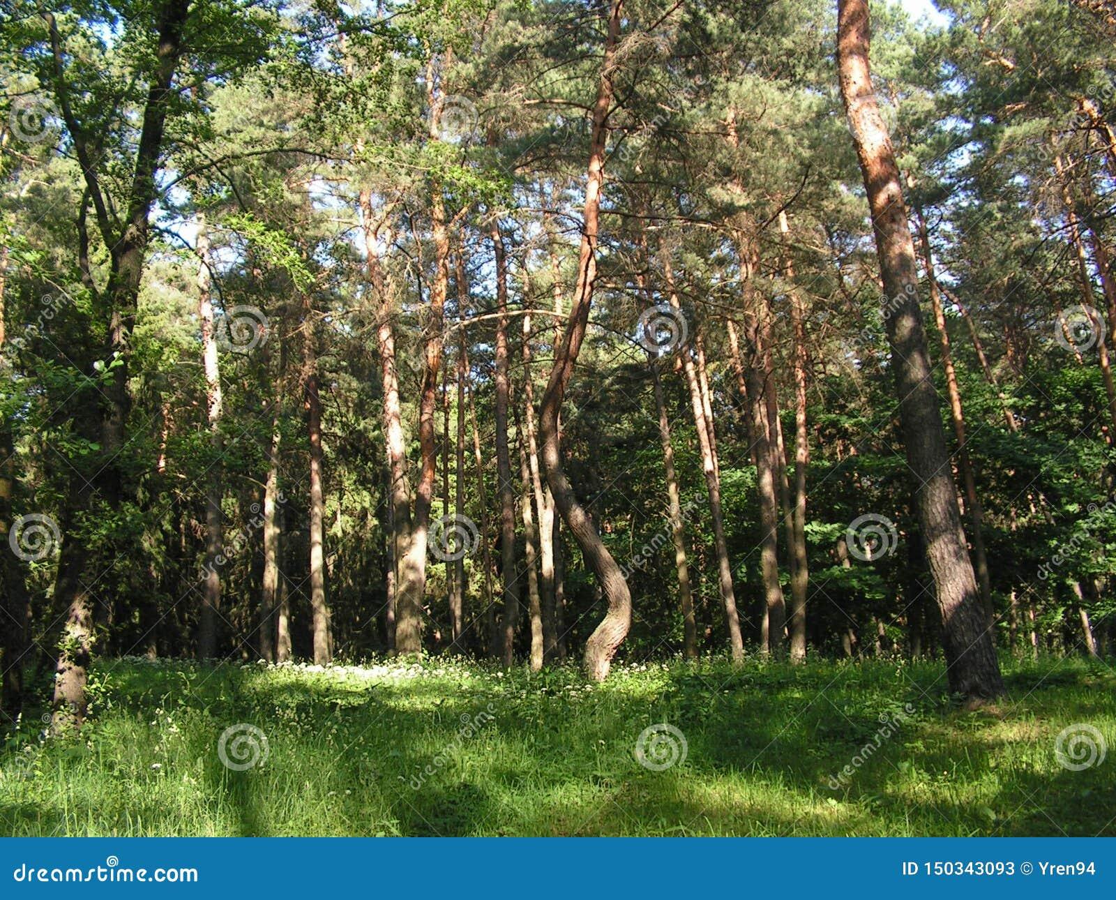 Πρωί σε ένα δάσος πεύκων