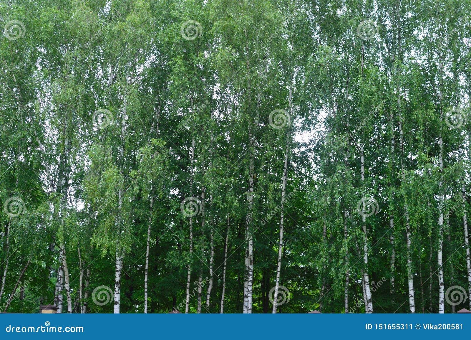 Πρωί στο δάσος σημύδων