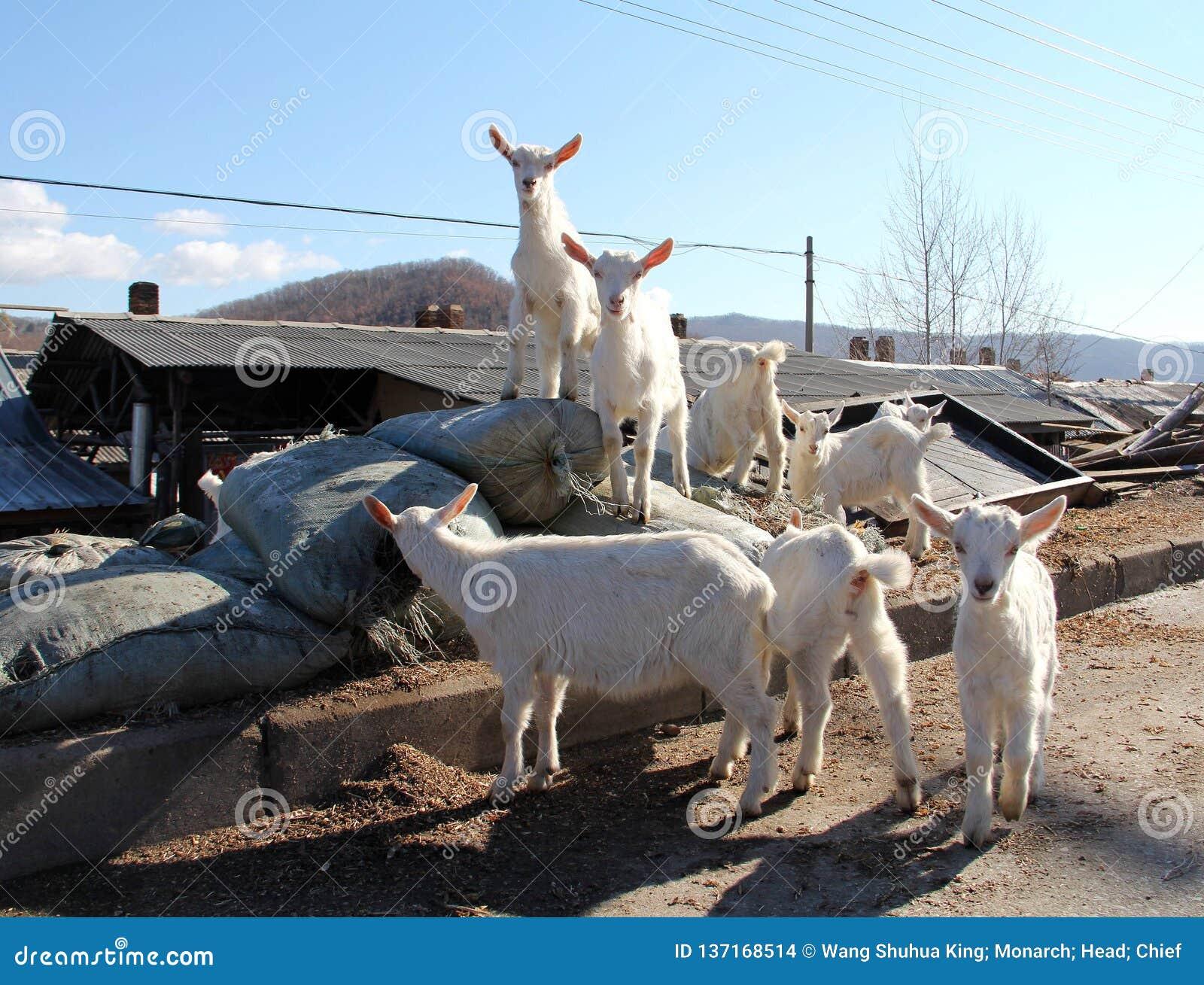 Πρόβατα  ένα επώνυμο