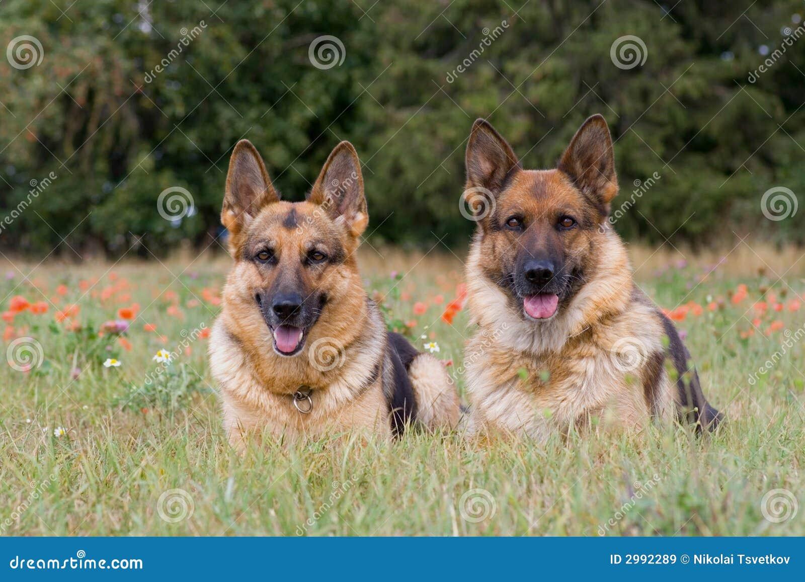πρόβατα δύο σκυλιών