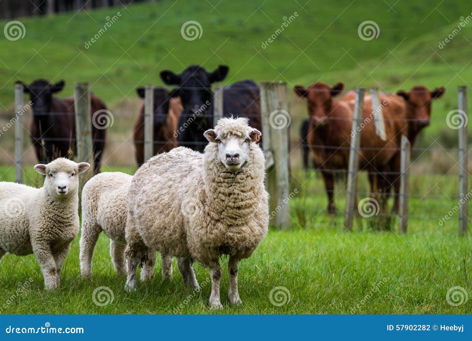 Πρόβατα και βοοειδή