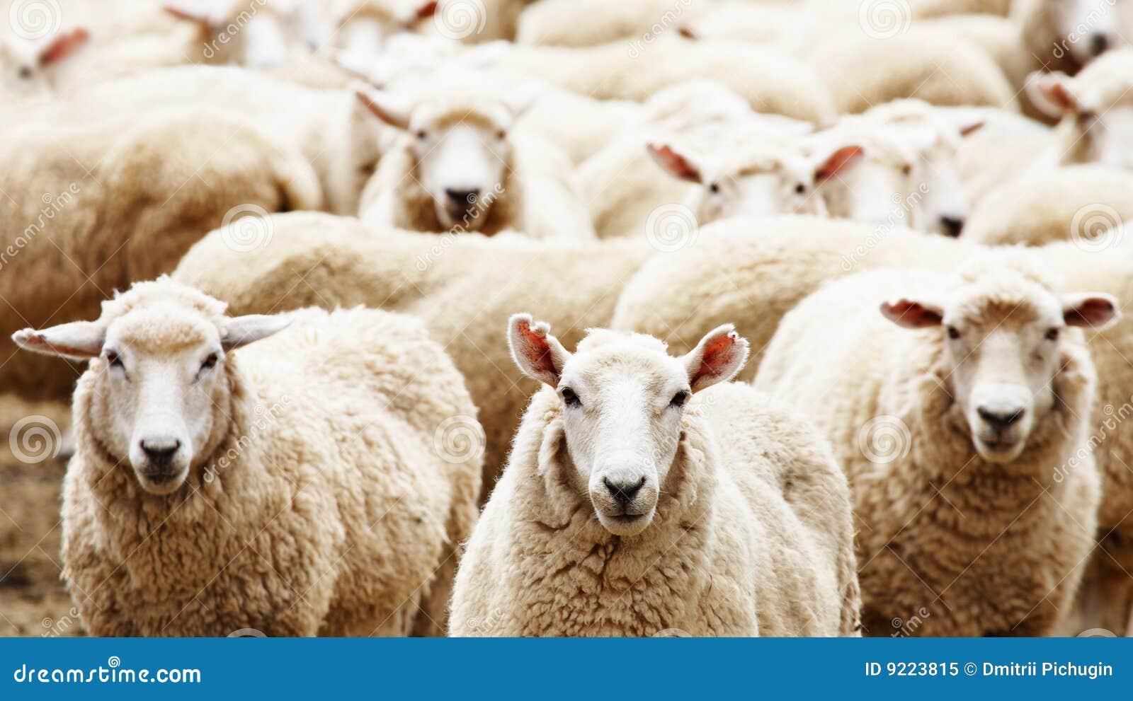 πρόβατα κοπαδιών