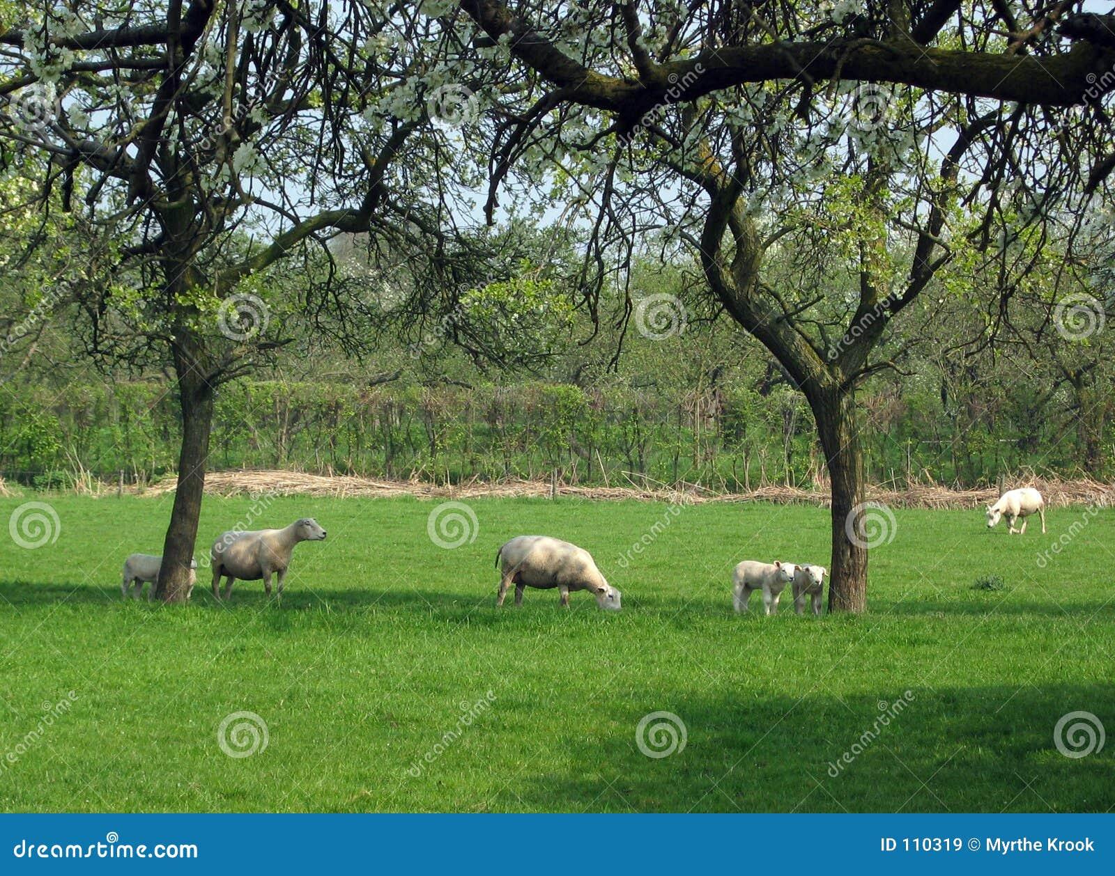 πρόβατα οπωρώνων