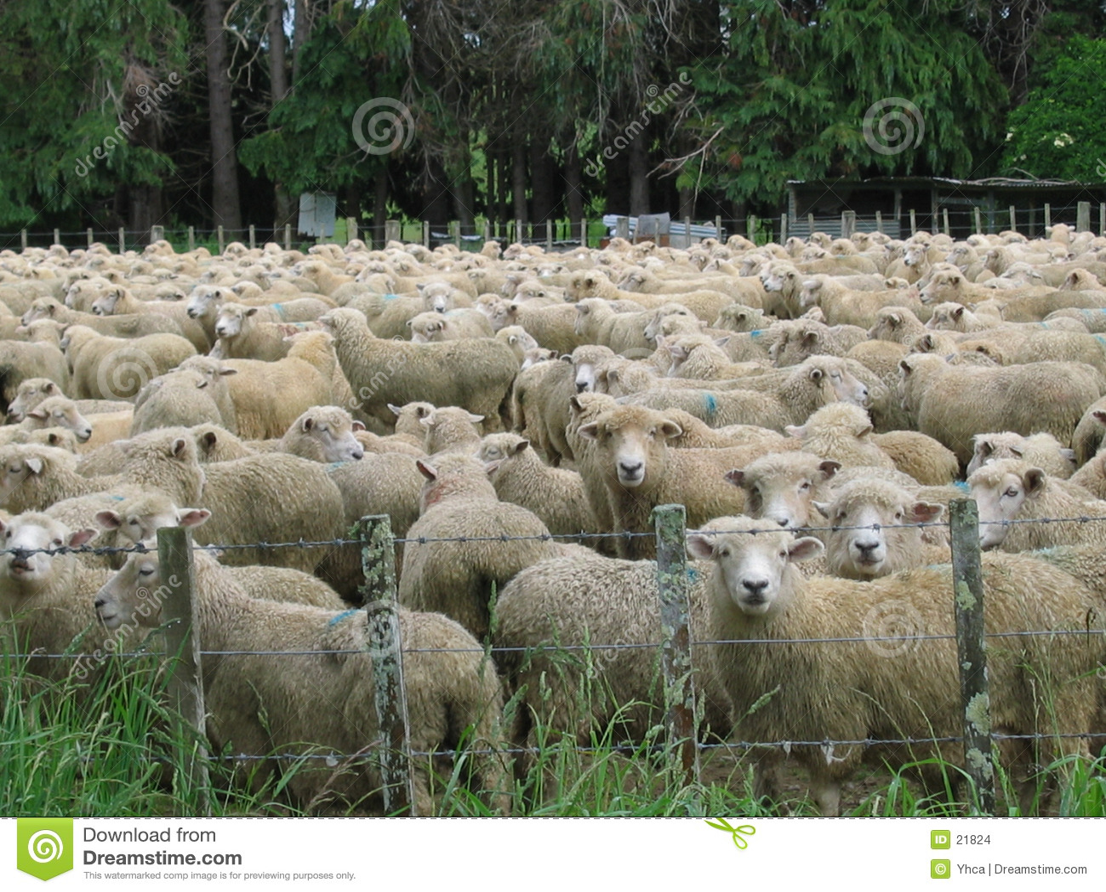 πρόβατα πεδίων