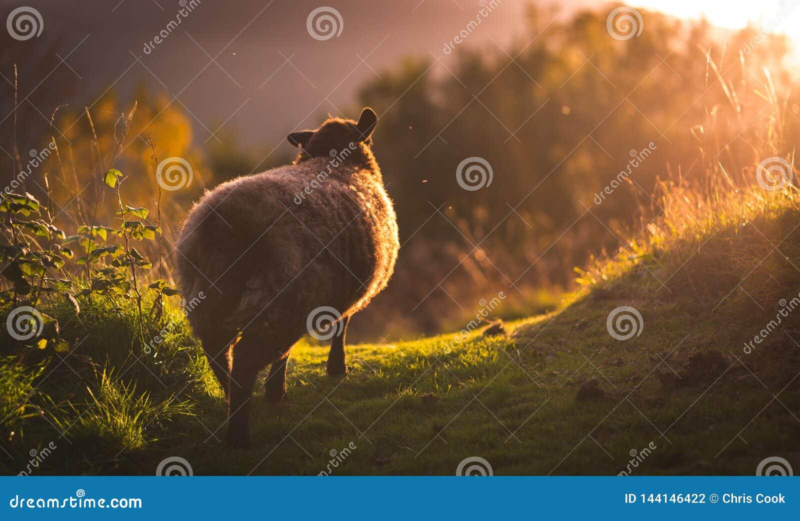 Πρόβατα περπατώντας στο φωτεινό φως του ήλιου στα καλοκαίρια που εξισώνουν - απομονωμένος πυροβολισμός