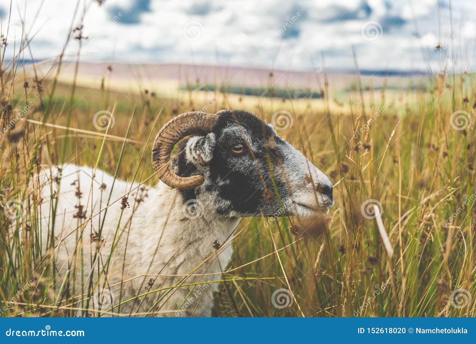 Πρόβατα σε έναν τομέα χλόης