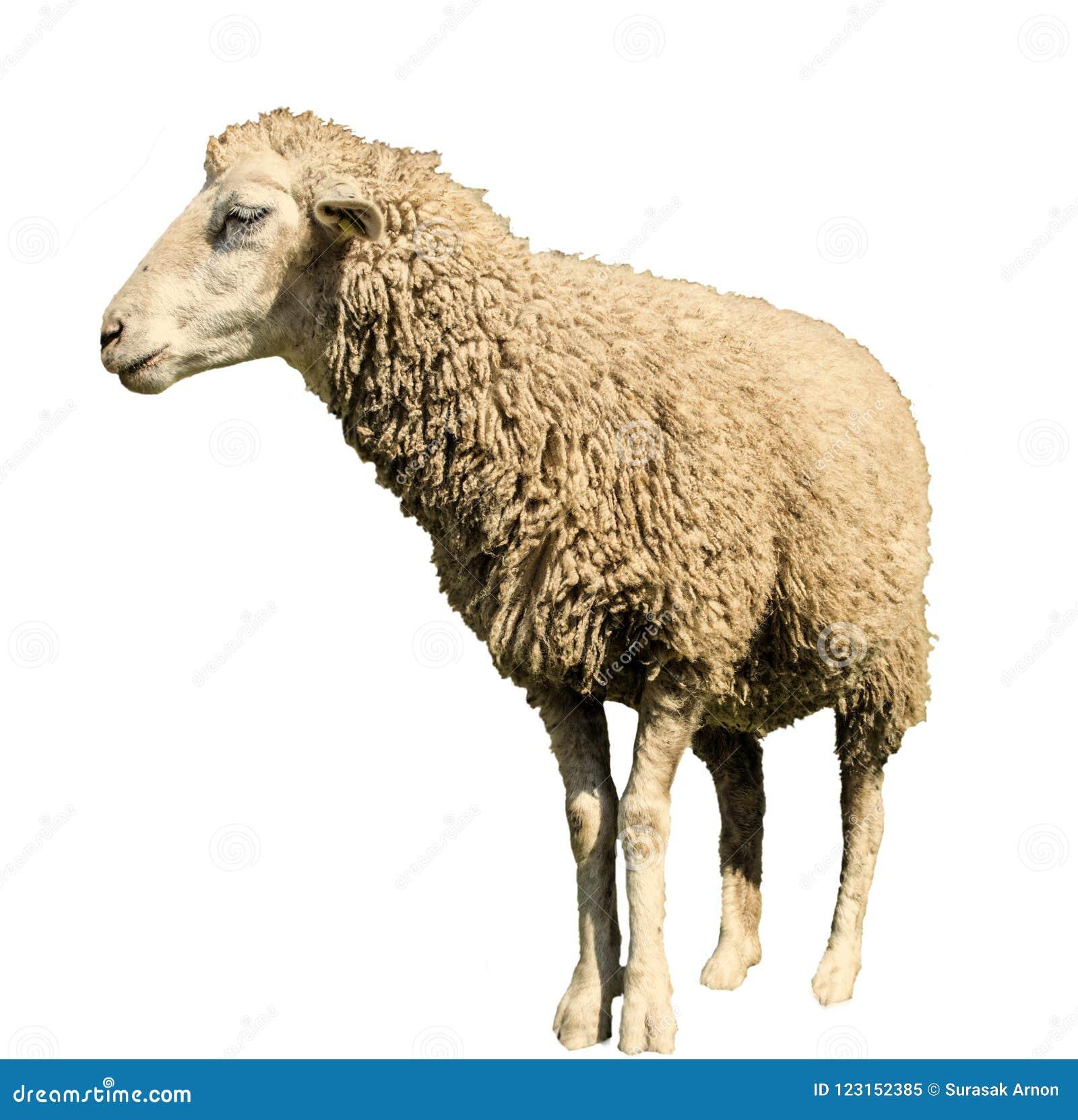 Πρόβατα σε ένα άσπρο υπόβαθρο με τις γραμμές πορειών