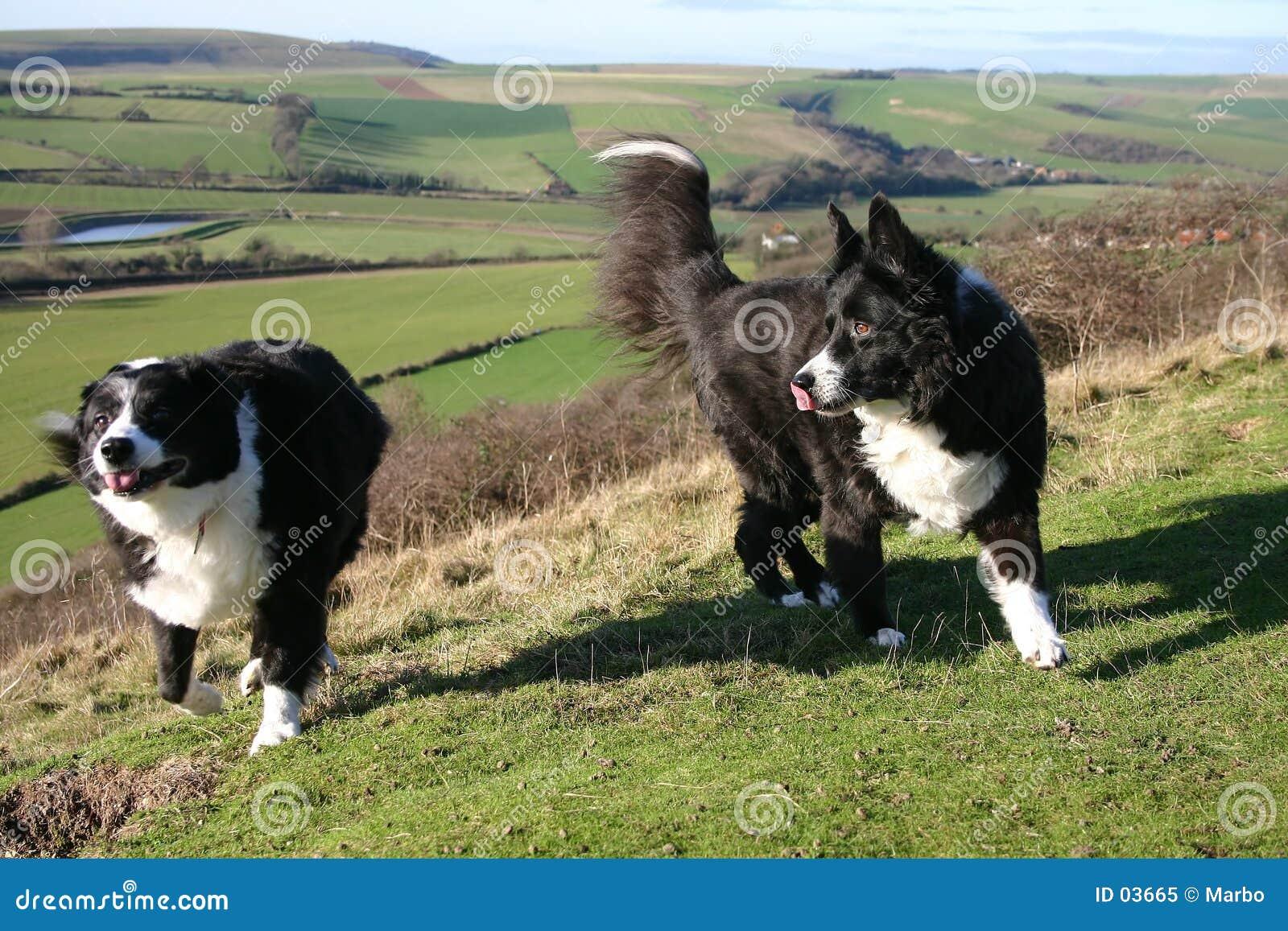πρόβατα σκυλιών