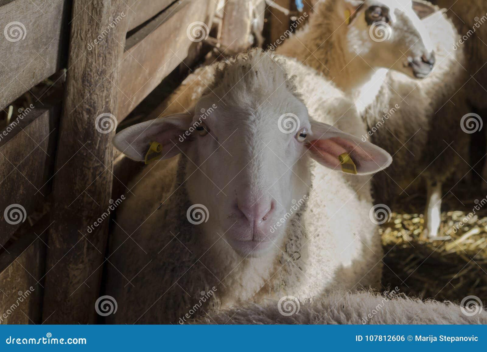 πρόβατα στην επαρχία περιβάλλον αγροτικό sheepfold