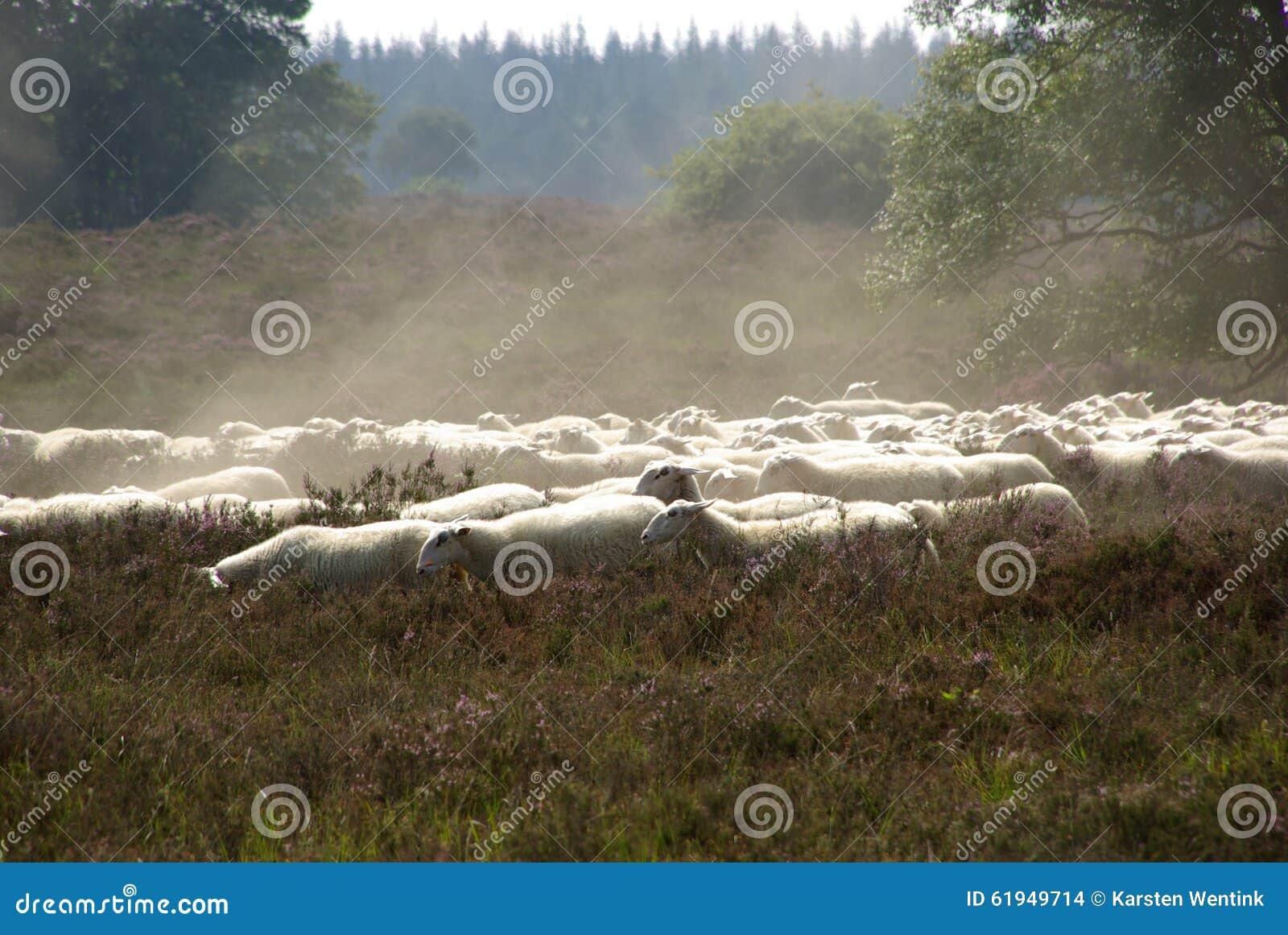 Πρόβατα στο λαντ
