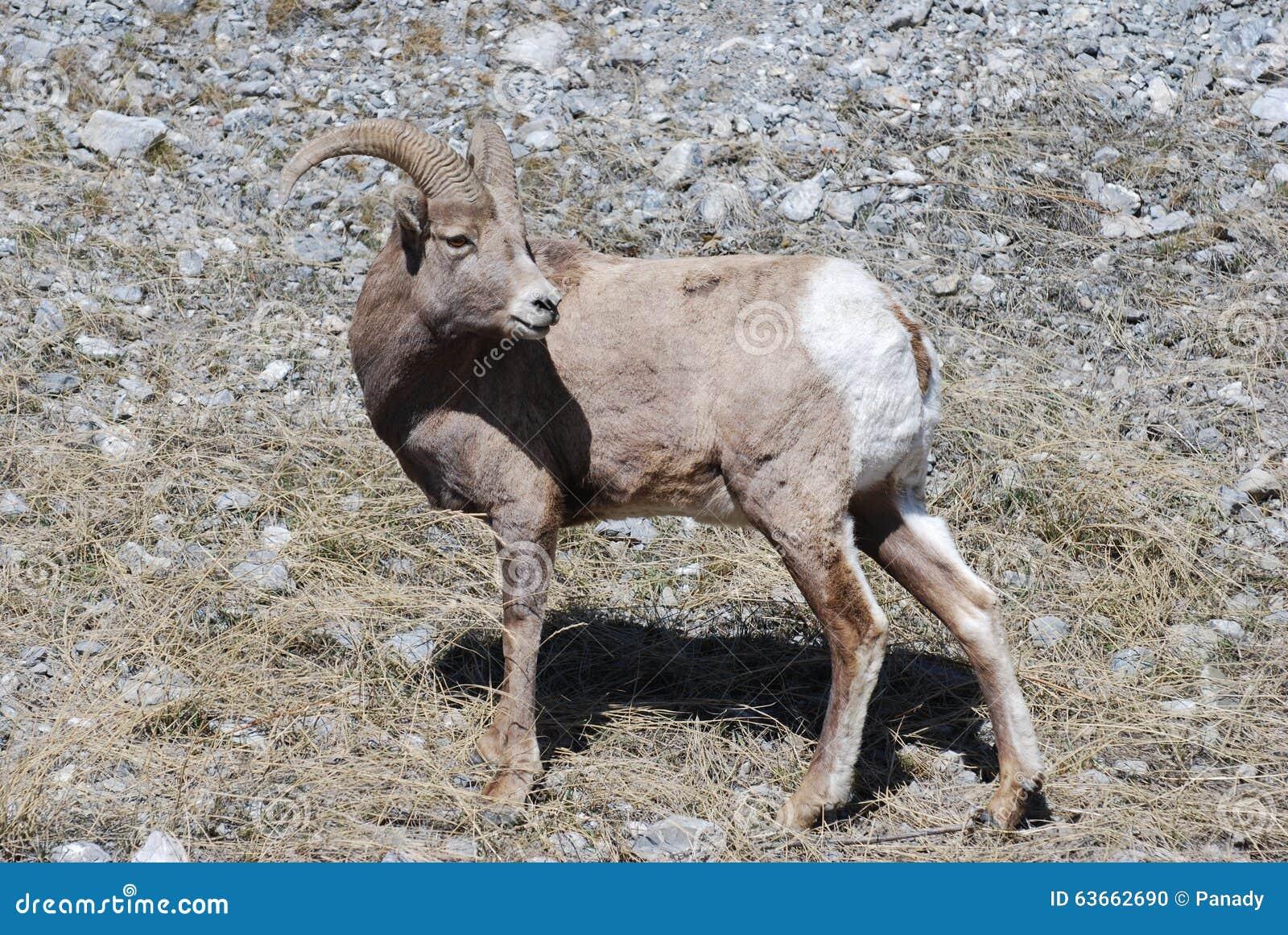 Πρόβατα Bighorn που κοιτάζουν πίσω