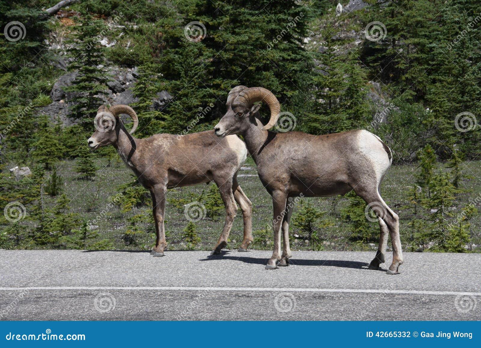 Πρόβατα Bighorn