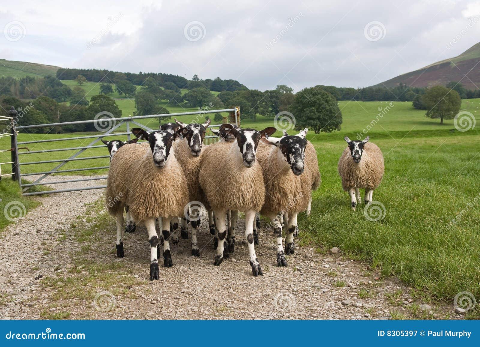 πρόβατα swaledale