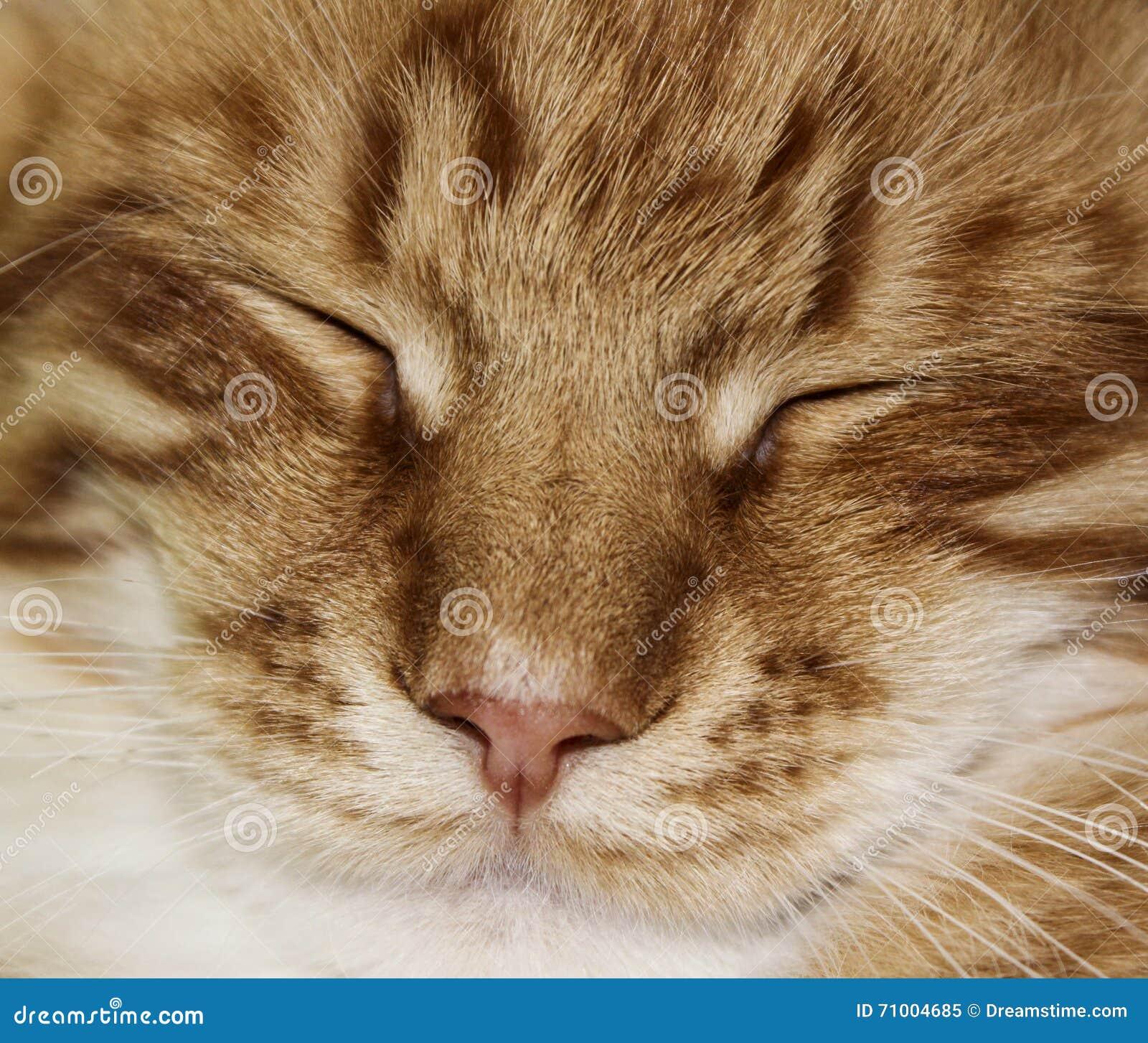 Πρόσωπο της άσπρης κόκκινης γδυμένης γάτας με τα ημίκλειστα μάτια