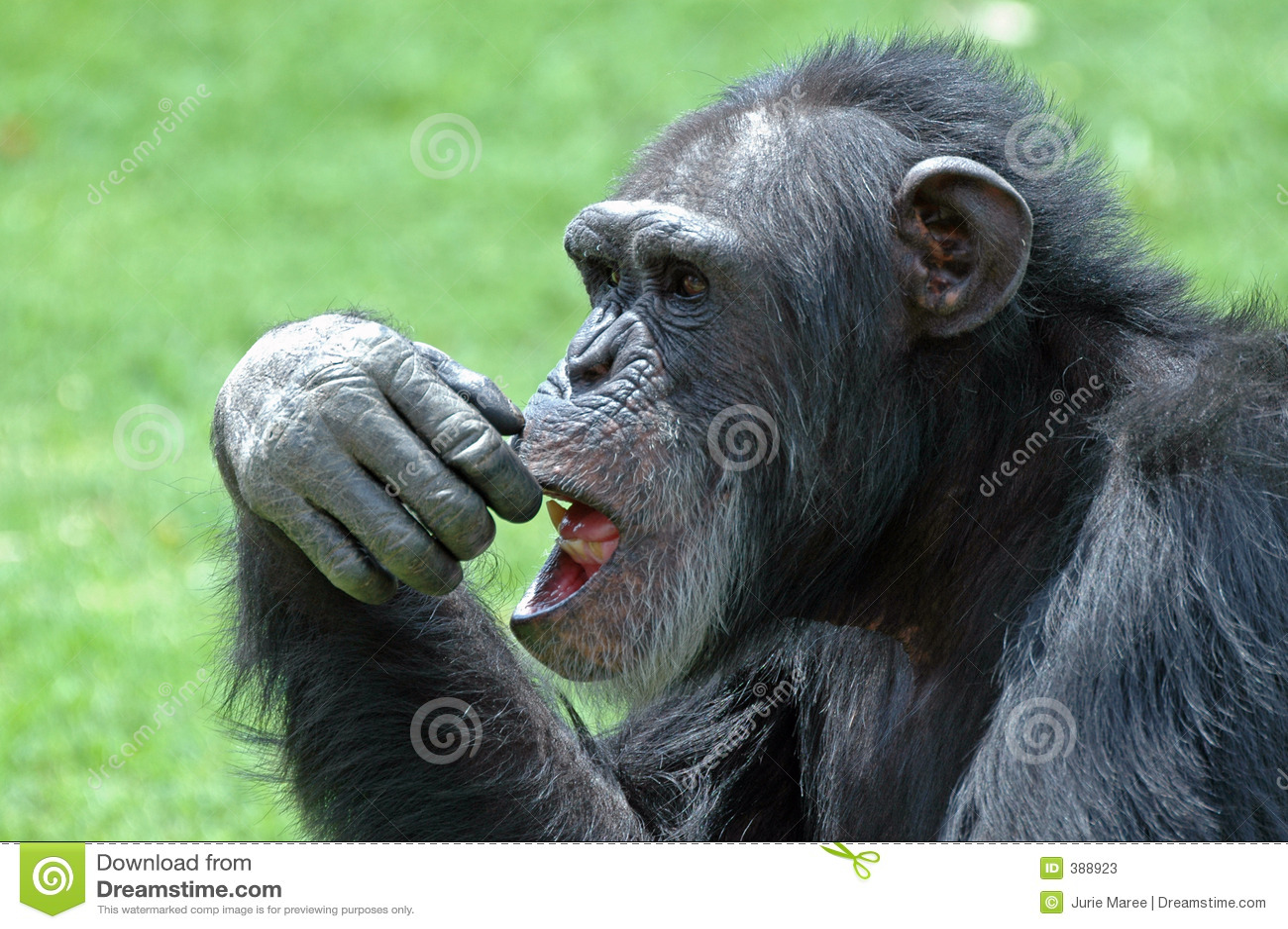 πρόσωπο χιμπατζήδων
