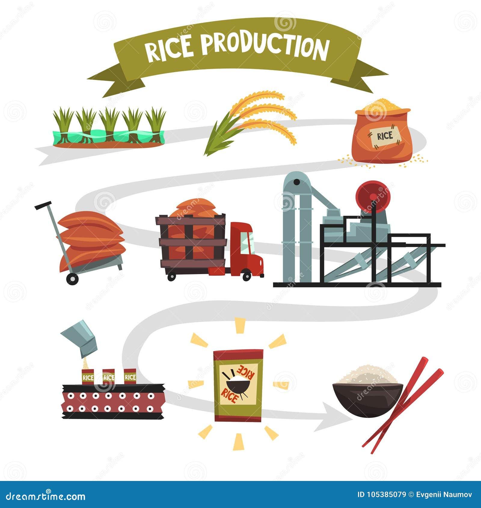 Πρότυπο Infographic της παραγωγής ρυζιού από την καλλιέργεια στην καλλιέργεια ολοκληρωμένων προϊόντων, ξήρανση, συγκομιδή