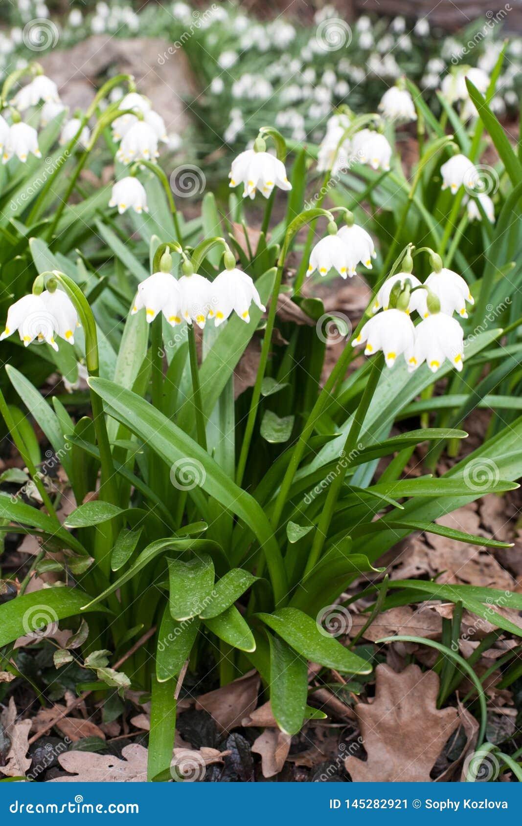 Πρώτα snowdrop άσπρη άποψη κινηματογραφήσεων σε πρώτο πλάνο λουλουδιών άν