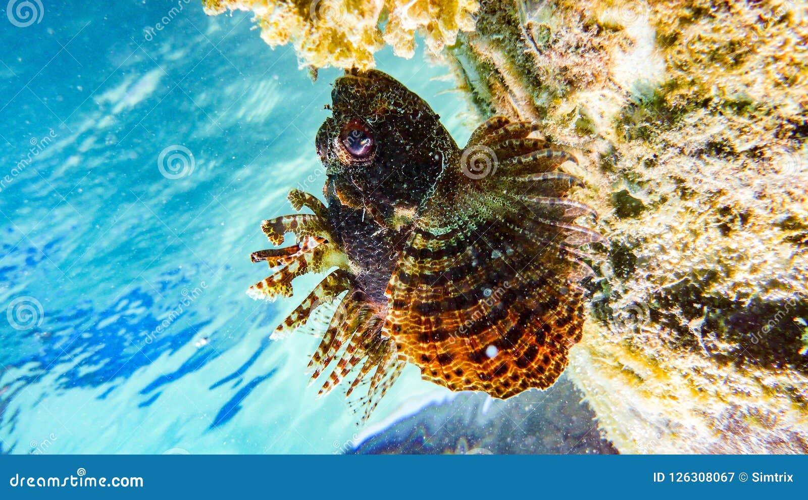 Πτερύγιο σημείων lionfish στις Μαλδίβες