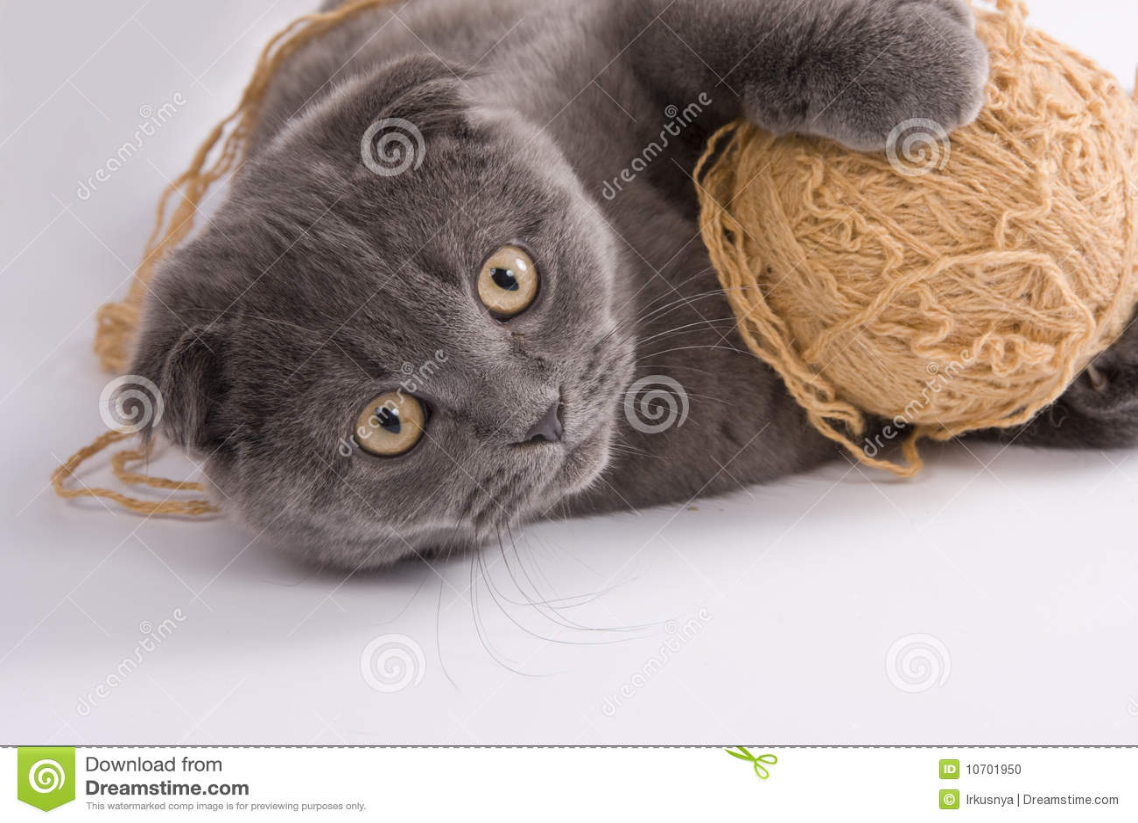 πτυχές σκωτσέζικα γατών